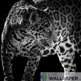 B&W Leopard Live Wallpaper - a cool phone background.