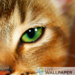 Cat Closeup Live Wallpaper - a cool phone background.